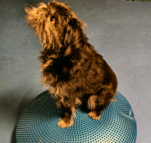 Training Tango, my Brussels Griffon dog, makes me happy!