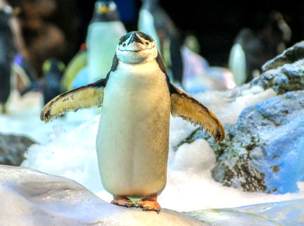 In winter time, walk like a penguin to prevent falls.
